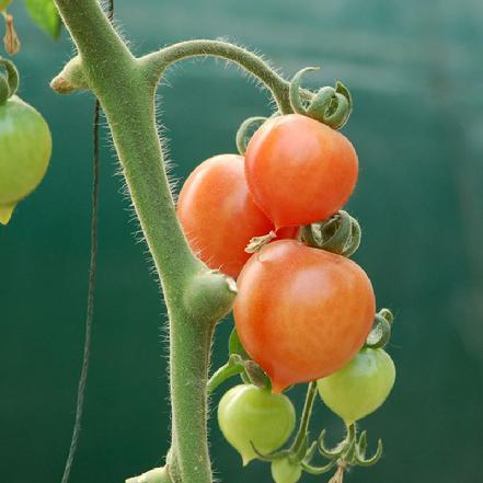 春桃番茄 约12个/斤(很甜)