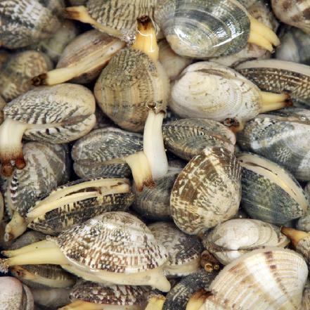 大花蛤(鲜活送到家) 约35个/斤(收货后加入适量盐水浸泡去沙子)