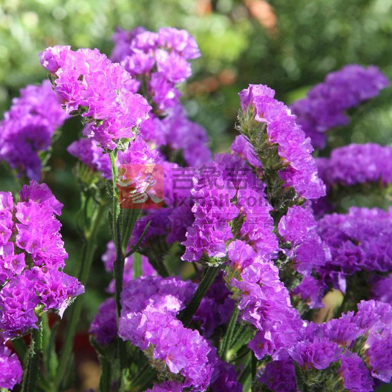 勿忘我(紫色) - 吉象超市