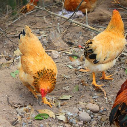 龙岩供销社直供 正宗河田鸡小母鸡散养1年 1000-1500g