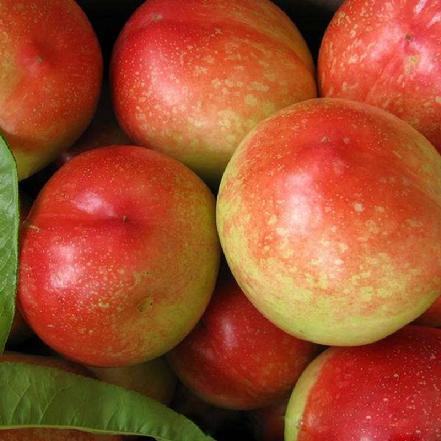 优质油桃 约5个/斤